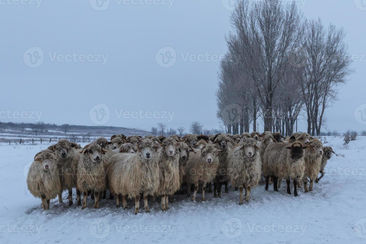 flock of sheep in winter photo