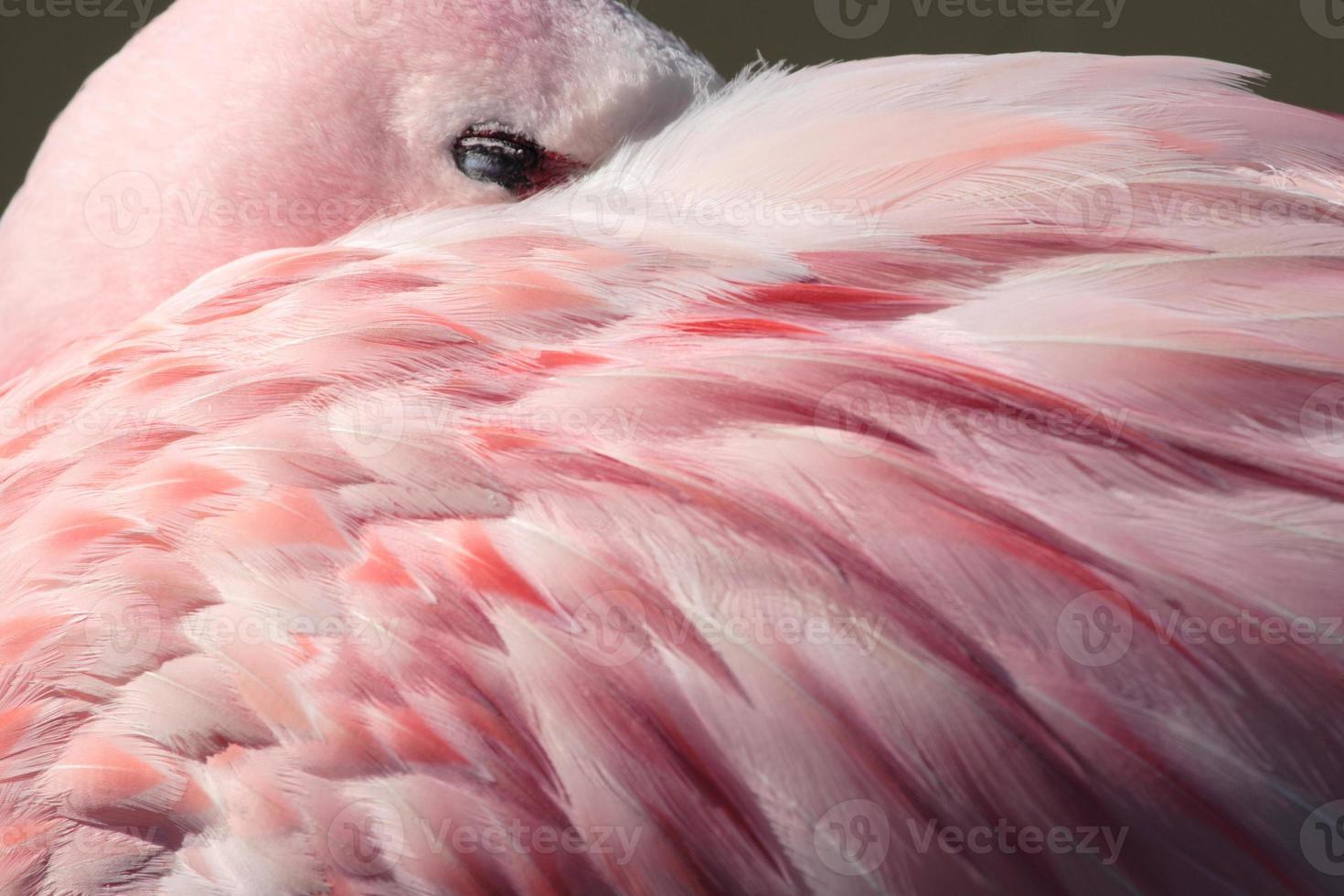 Flamingo feathers photo