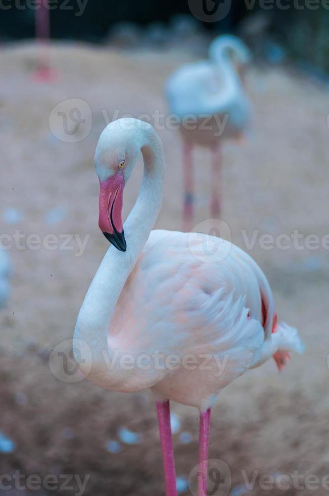 Greater flamingo. photo