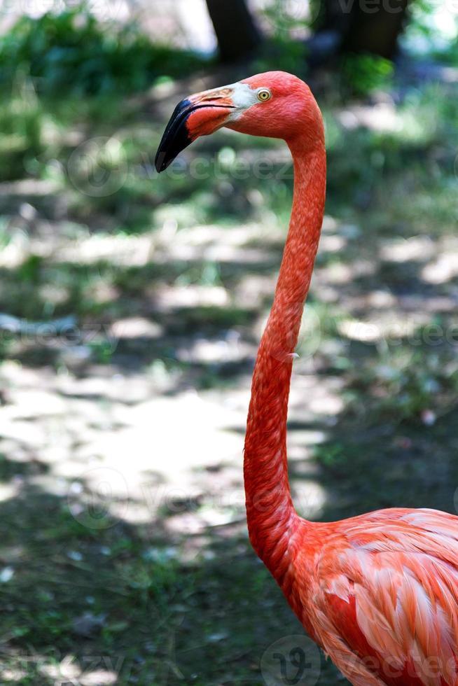 Flamingo beautiful portrait created in the natural wild photo