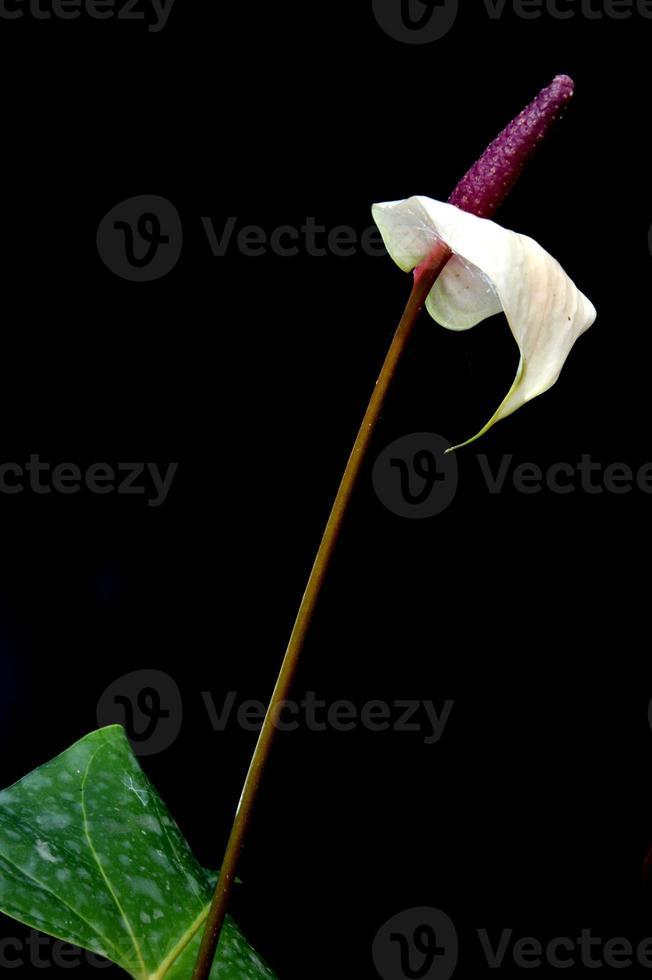 flor de flamenco (anturio) foto