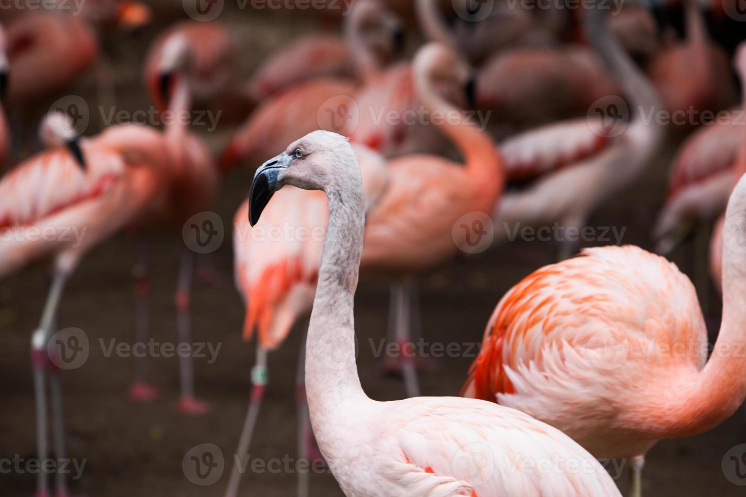 Group of pink flamingos in its natural environment photo