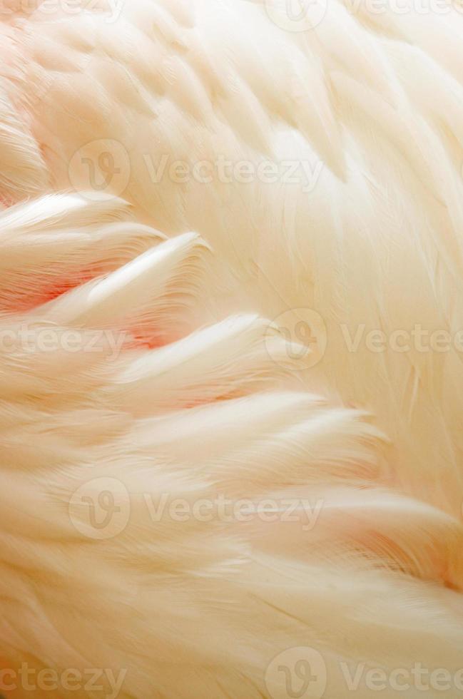 Greater Flamingo feathers photo