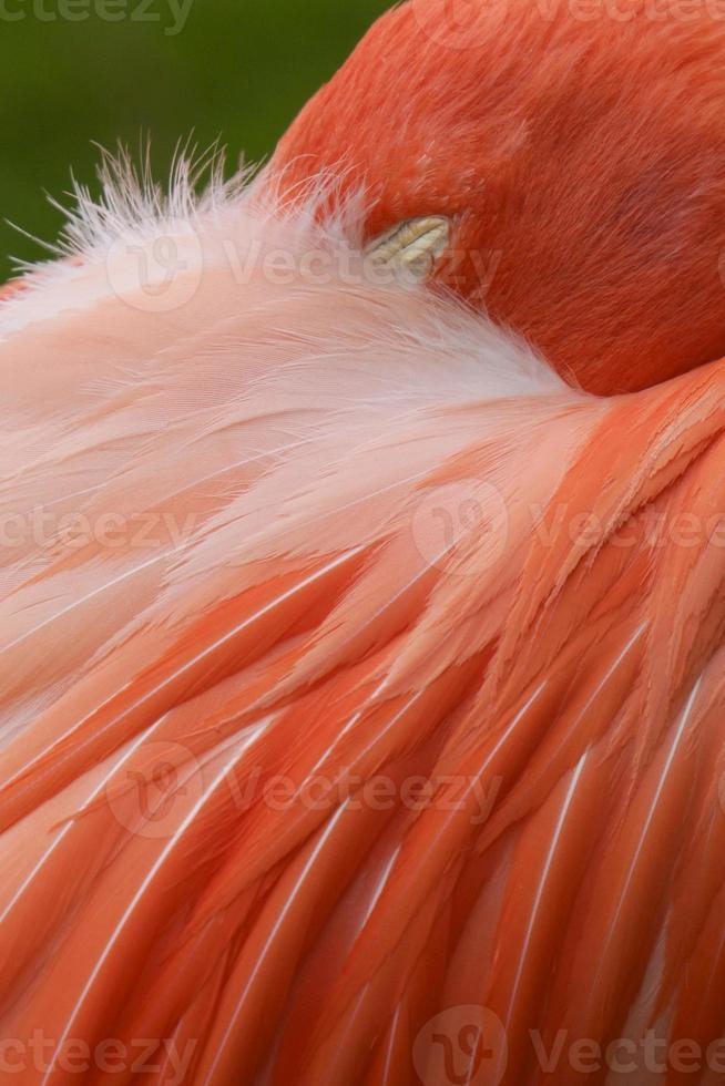 cerrar flamenco rosado foto