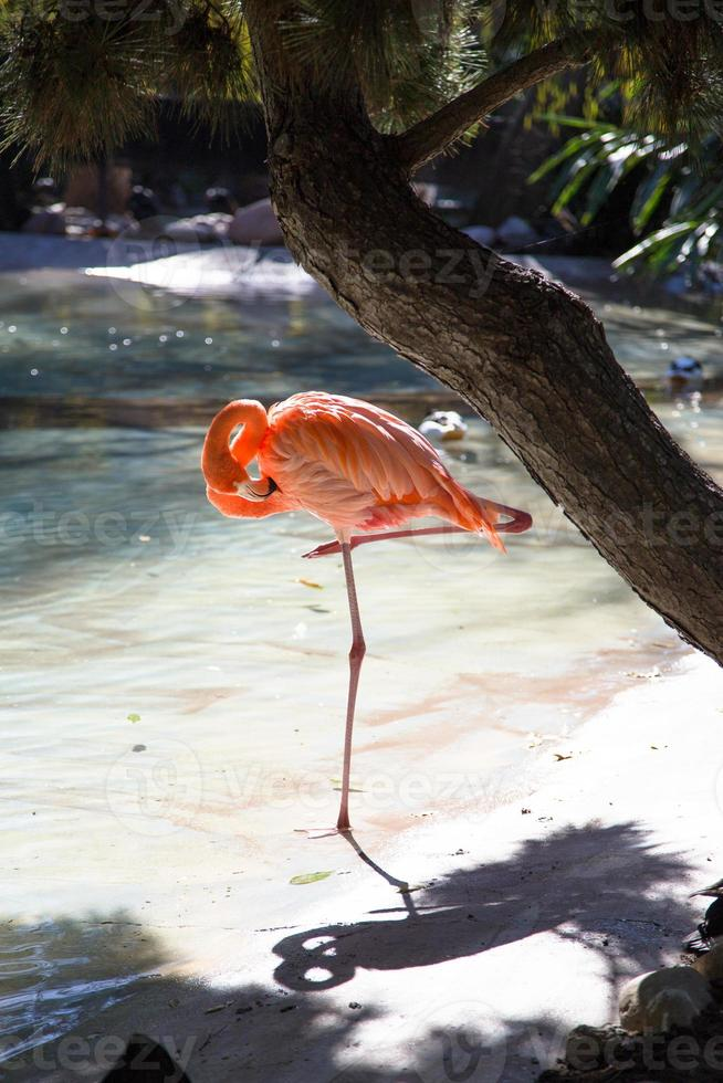 Pink Flamingo In Water photo