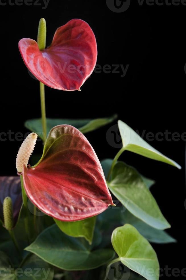 flor de flamenco en dorso negro foto