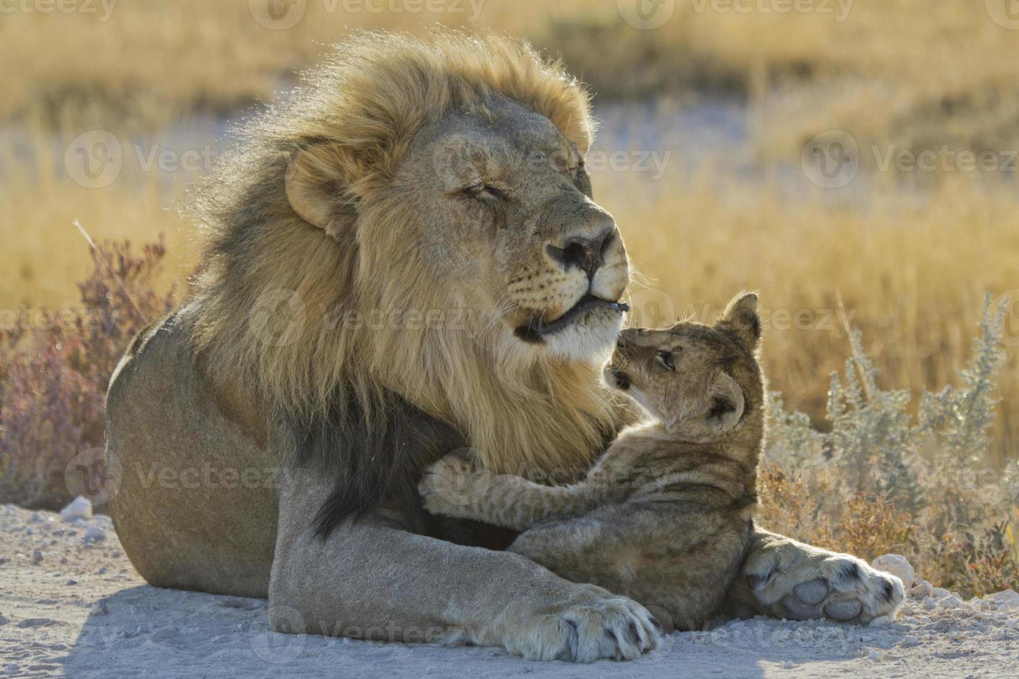loewe, panthera leo, león foto
