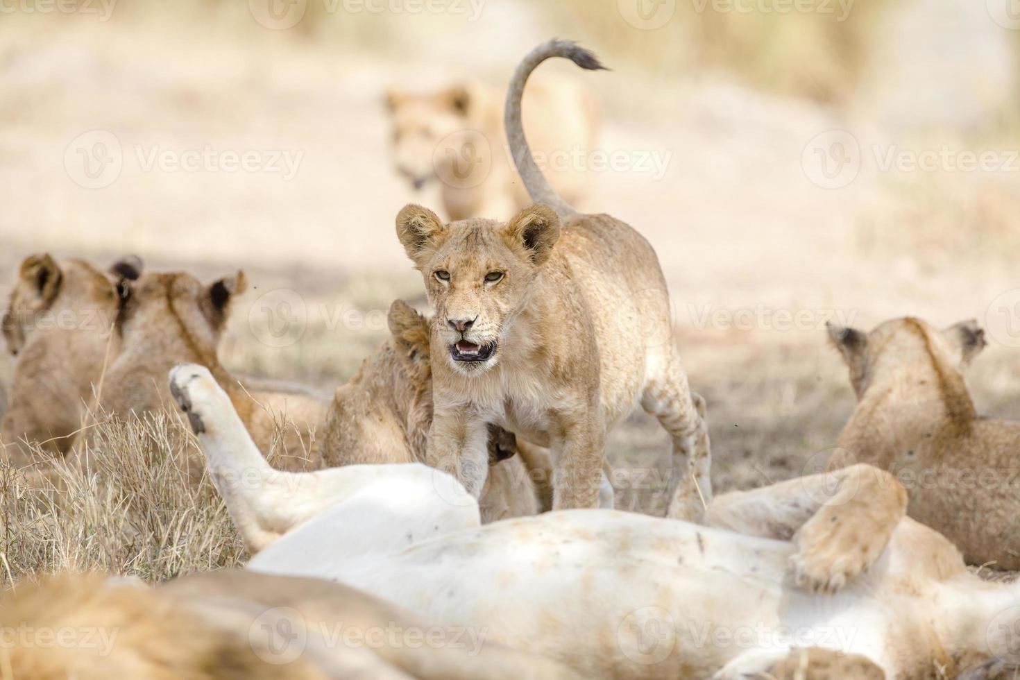 cachorro jugando en gran orgullo del león en la sabana foto