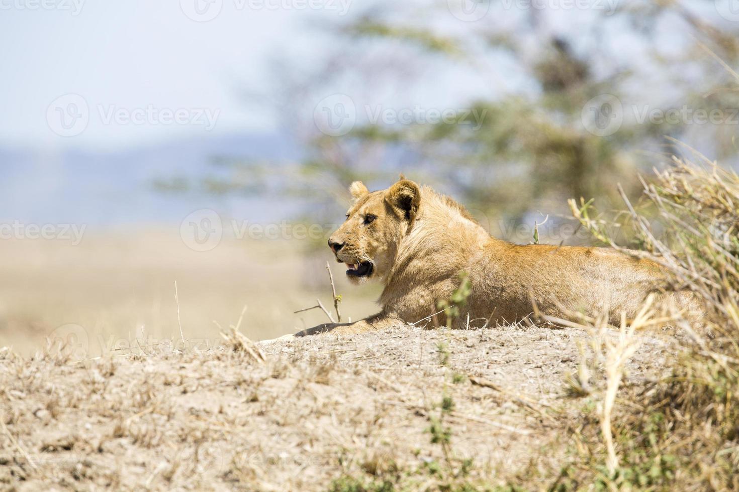 león macho africano en serengeti foto
