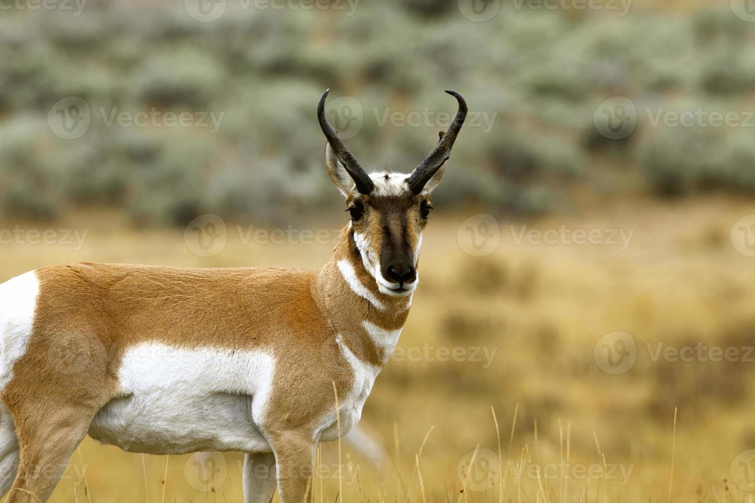 Antelope Buck outside Gardiner, Montana photo