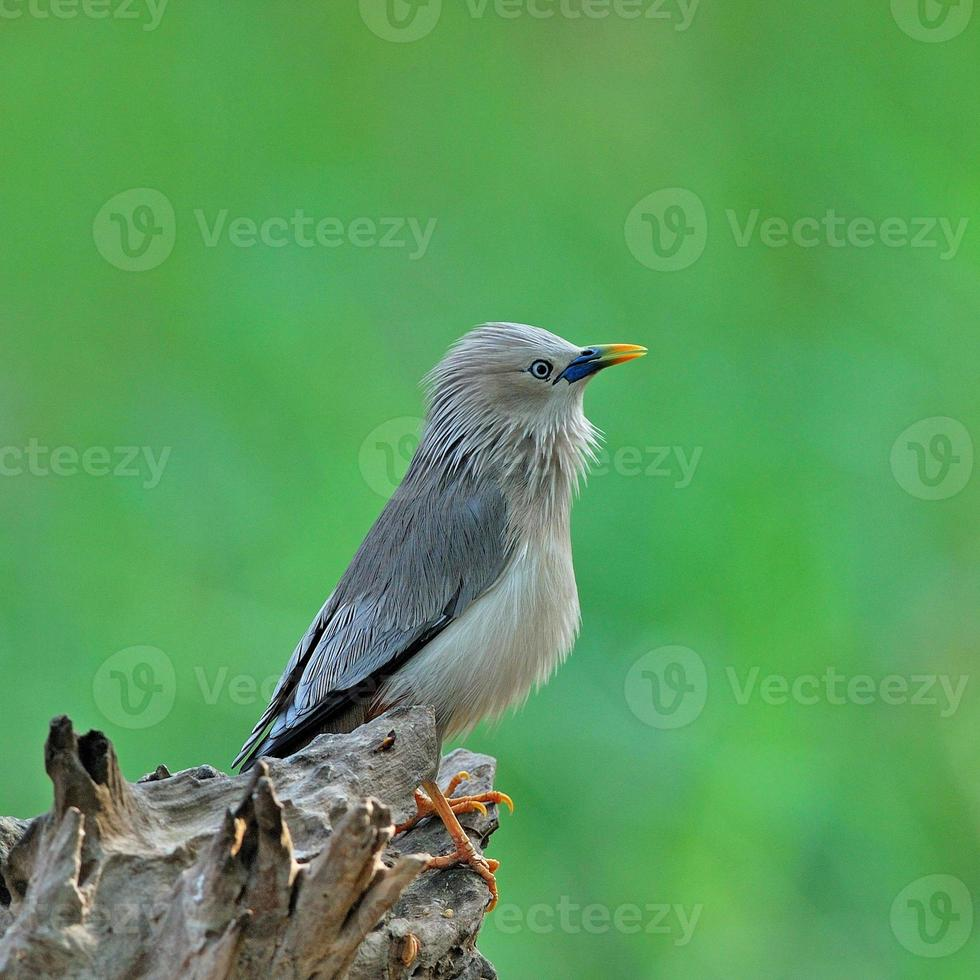 Chestnut-tailed Starling photo