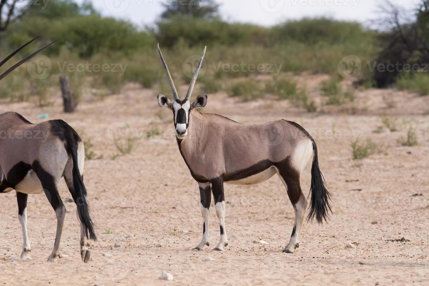 manada de oryx de pie sobre una llanura seca foto
