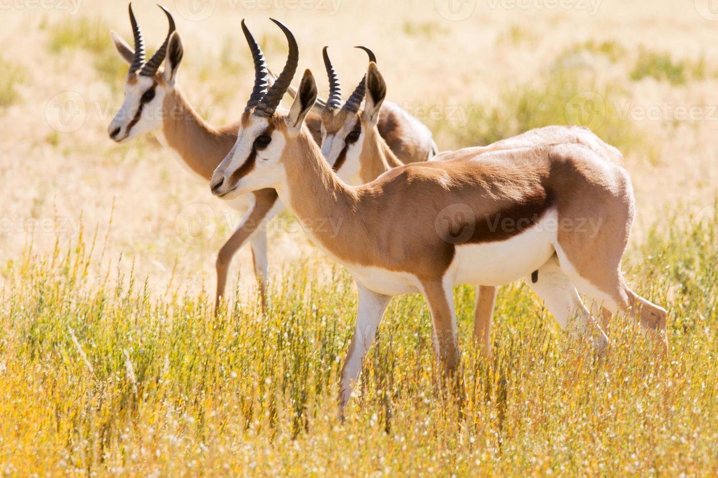 tres gacelas jóvenes en el desierto de kalahari foto