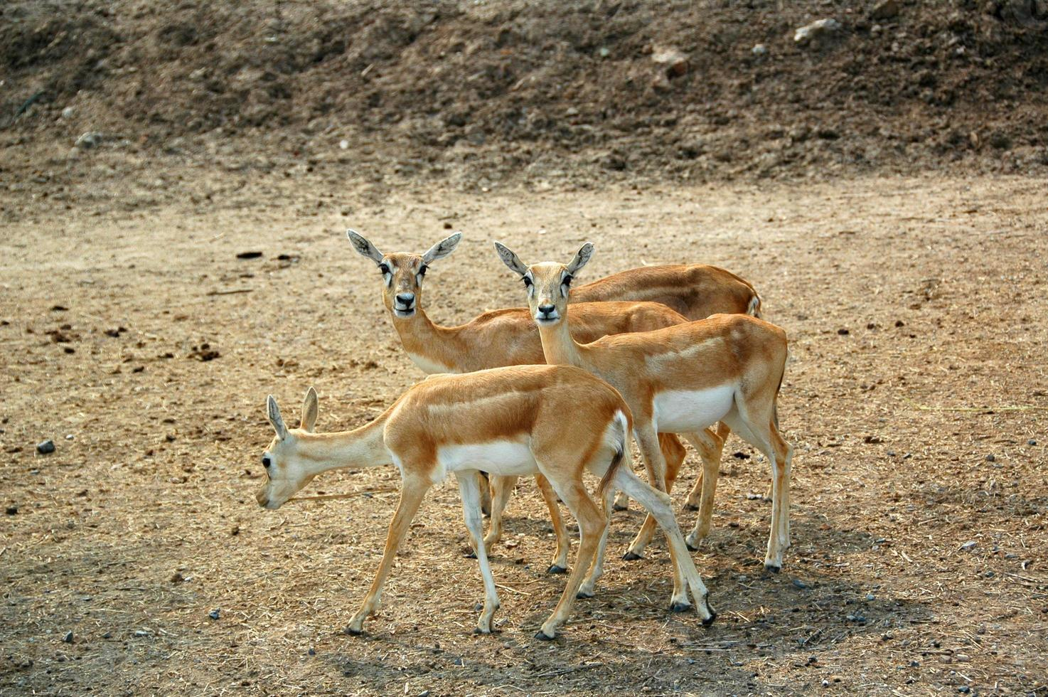 Goitered Gazelle (Gazella subgutturosa) photo