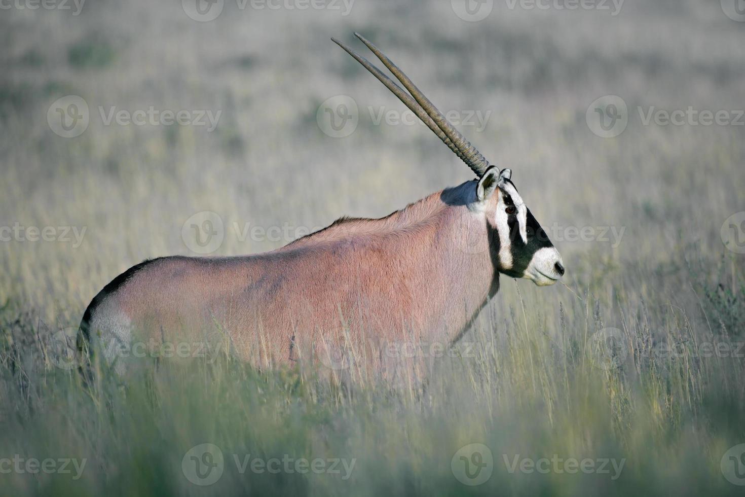 antílope gemsbok foto