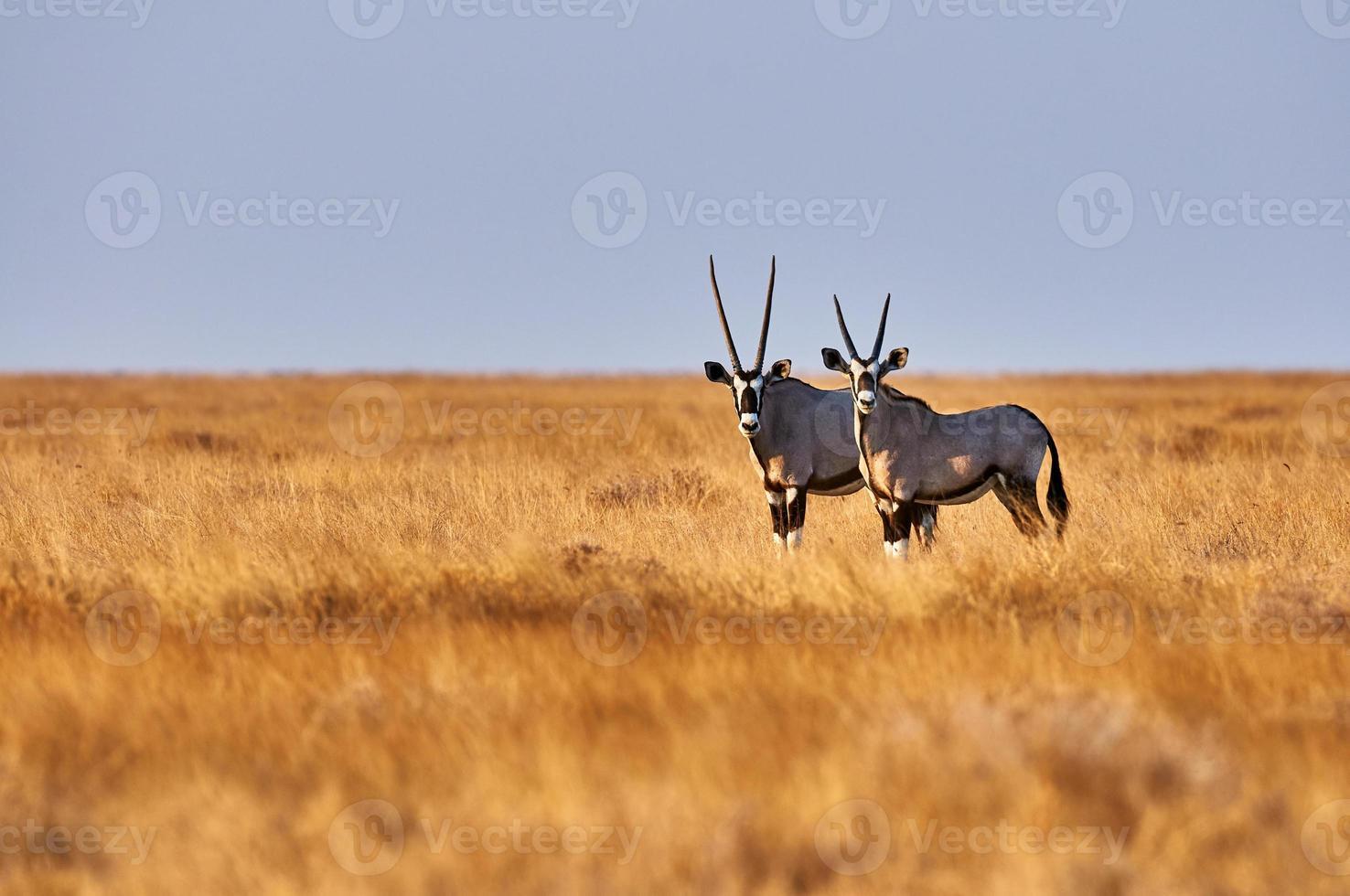 dos oryx en la sabana foto