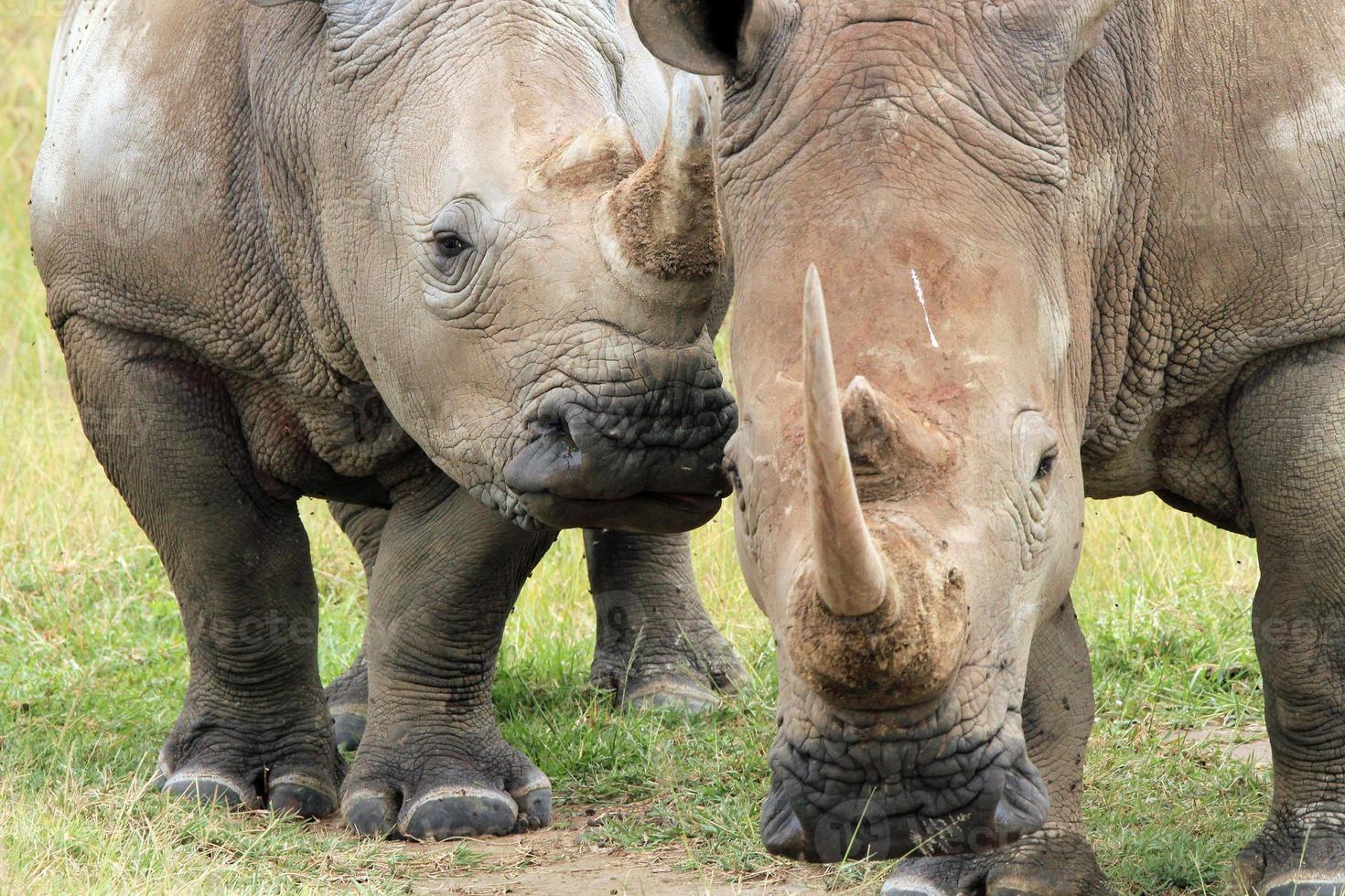 pareja de rinocerontes blancos foto