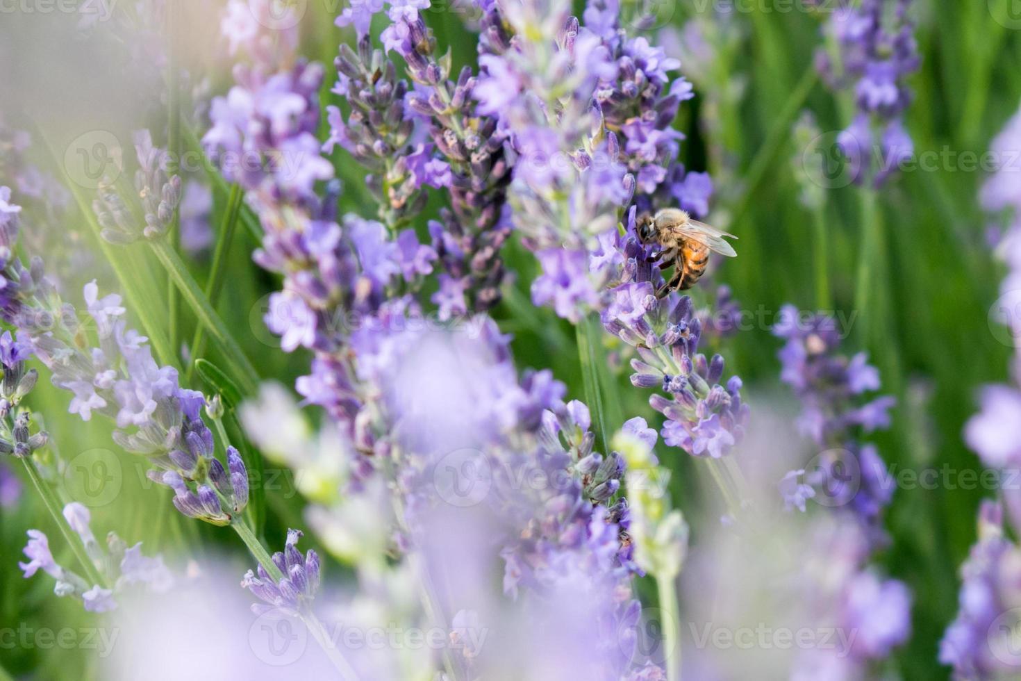 abeja y lavanda foto
