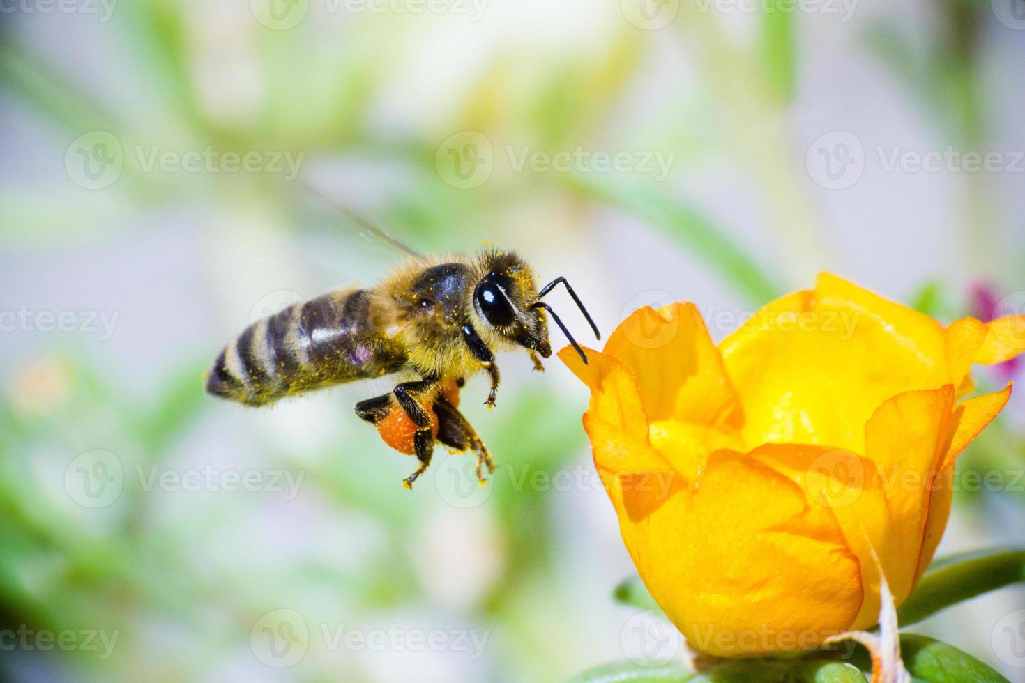 Honey bee in flight photo