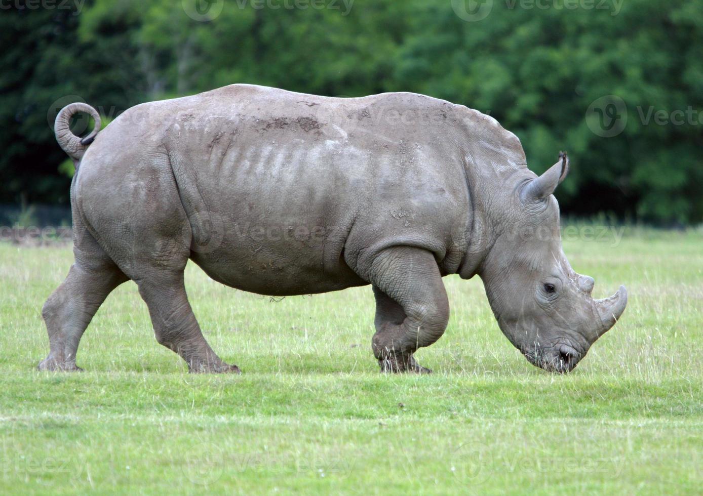 rinoceronte pastando foto