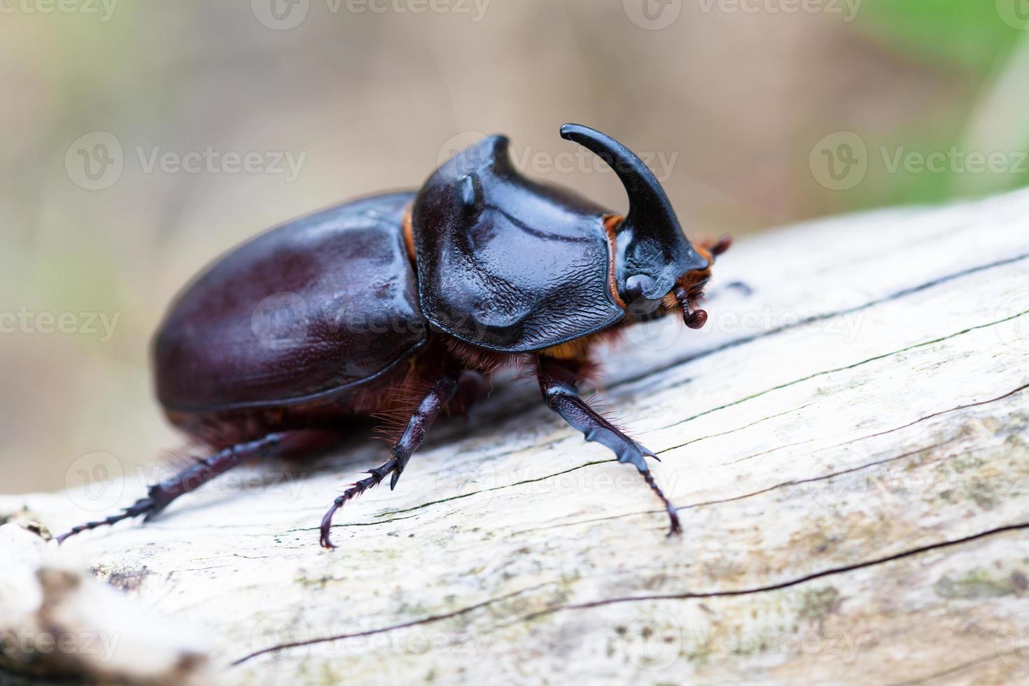 Rhinoceros beetle photo