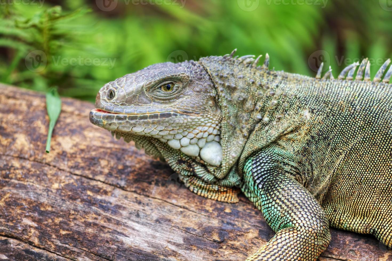 Rhinoceros Iguana (cyclura cornuta) photo