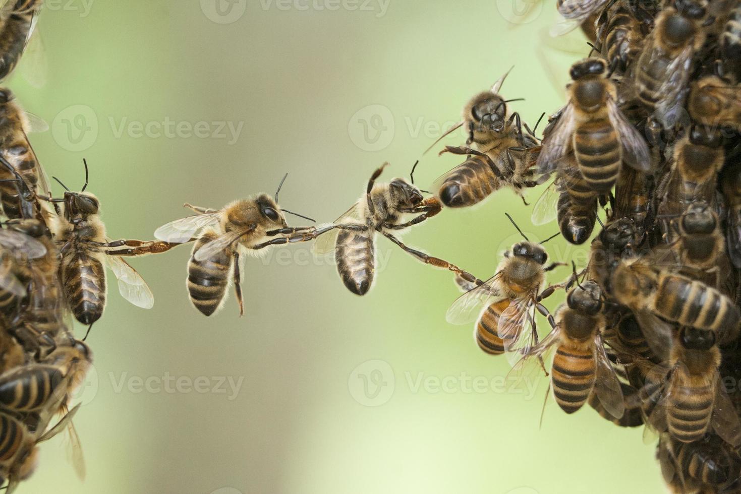 abejas puente enjambre foto