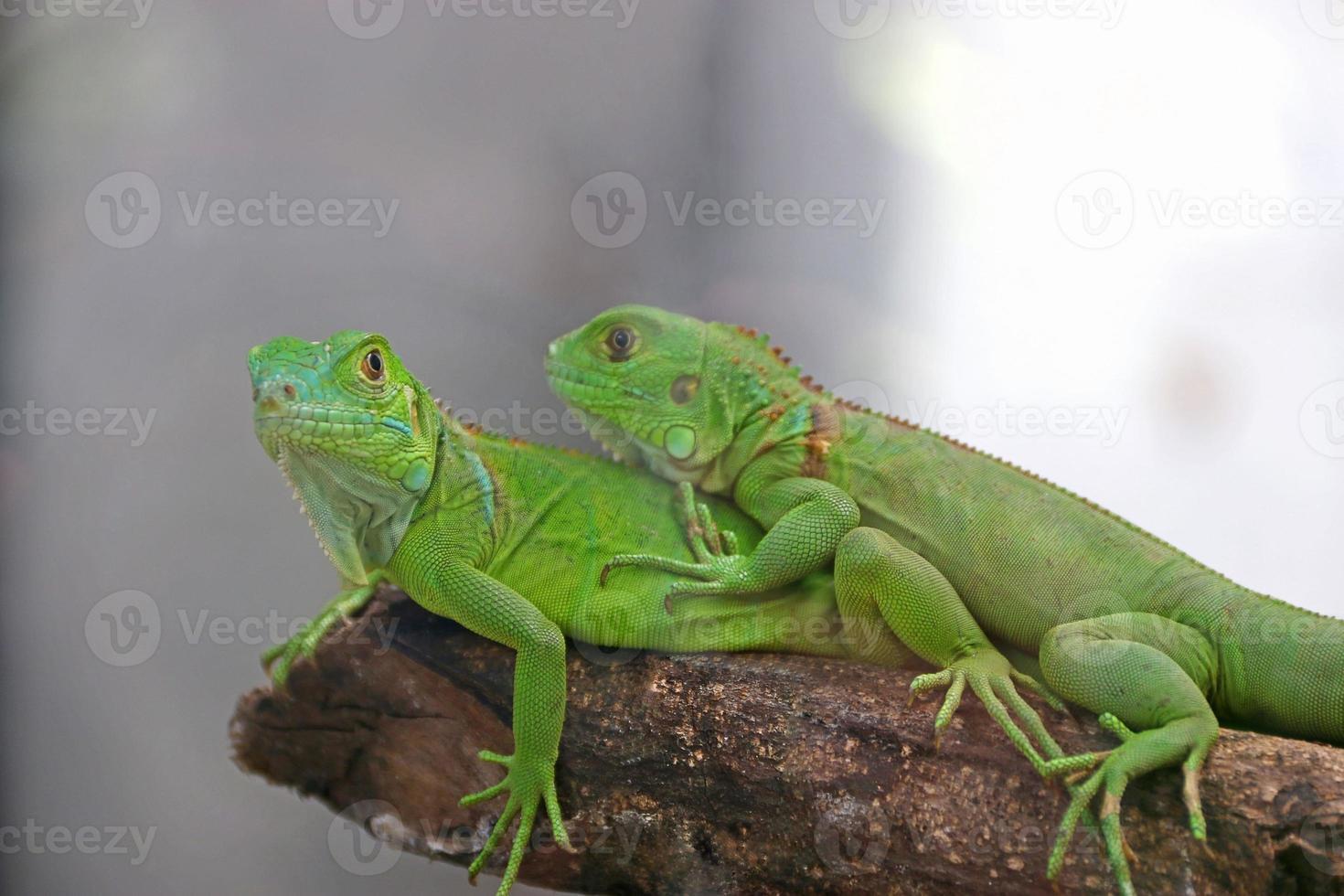 Couple of green Iguana photo
