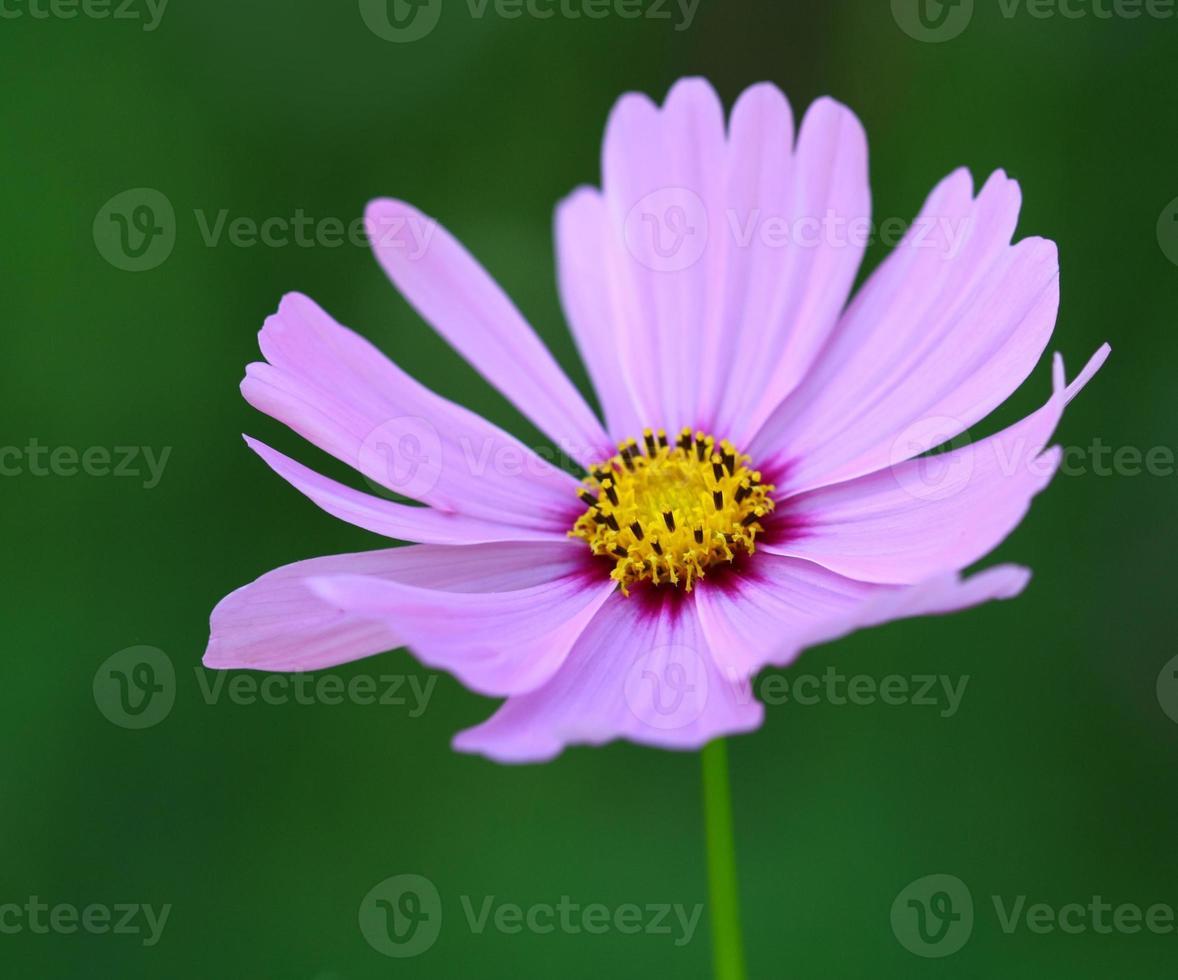 abeja polinizada en flor de cosmos de color morado oscuro foto