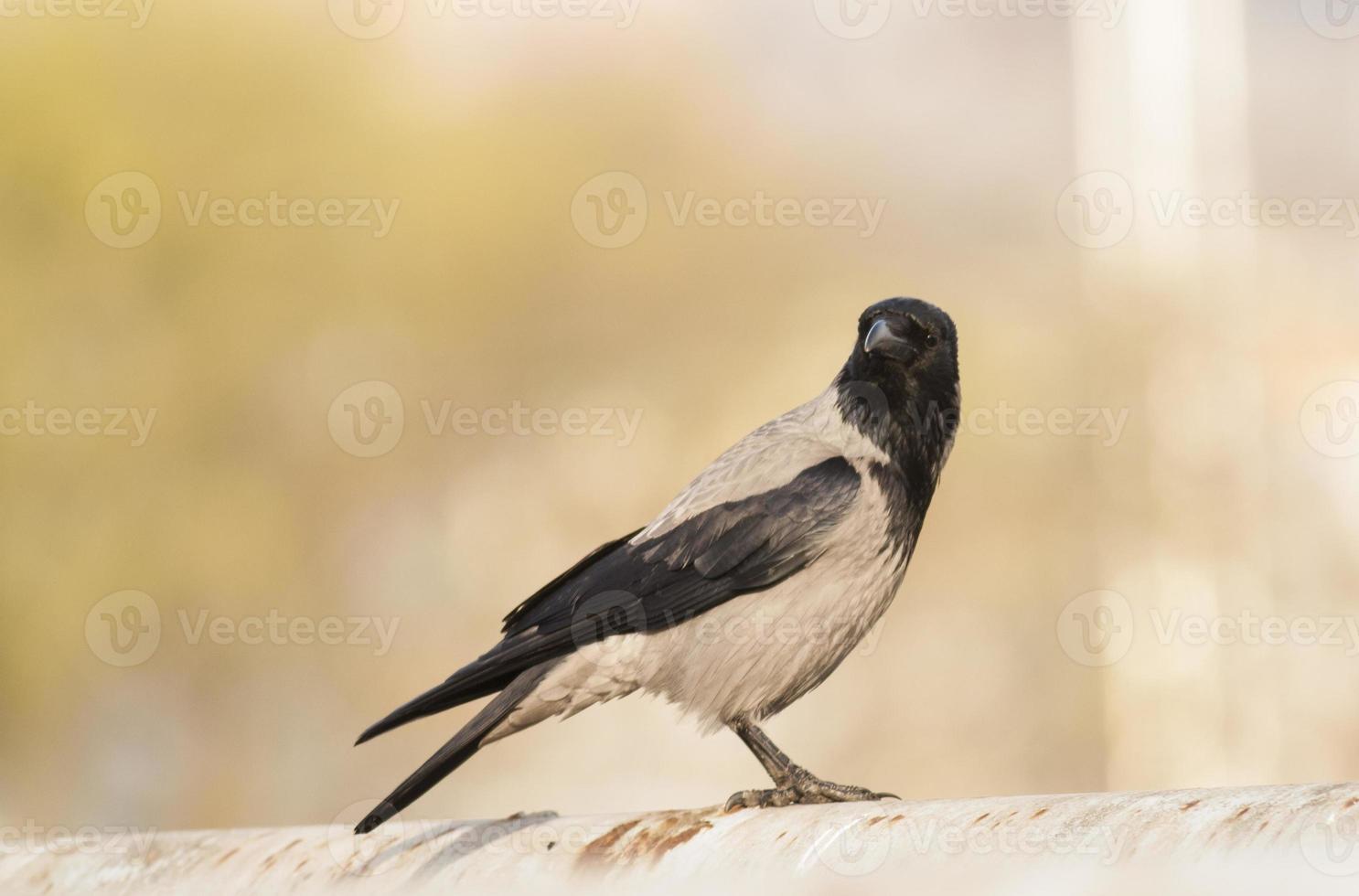 Hooded crow photo