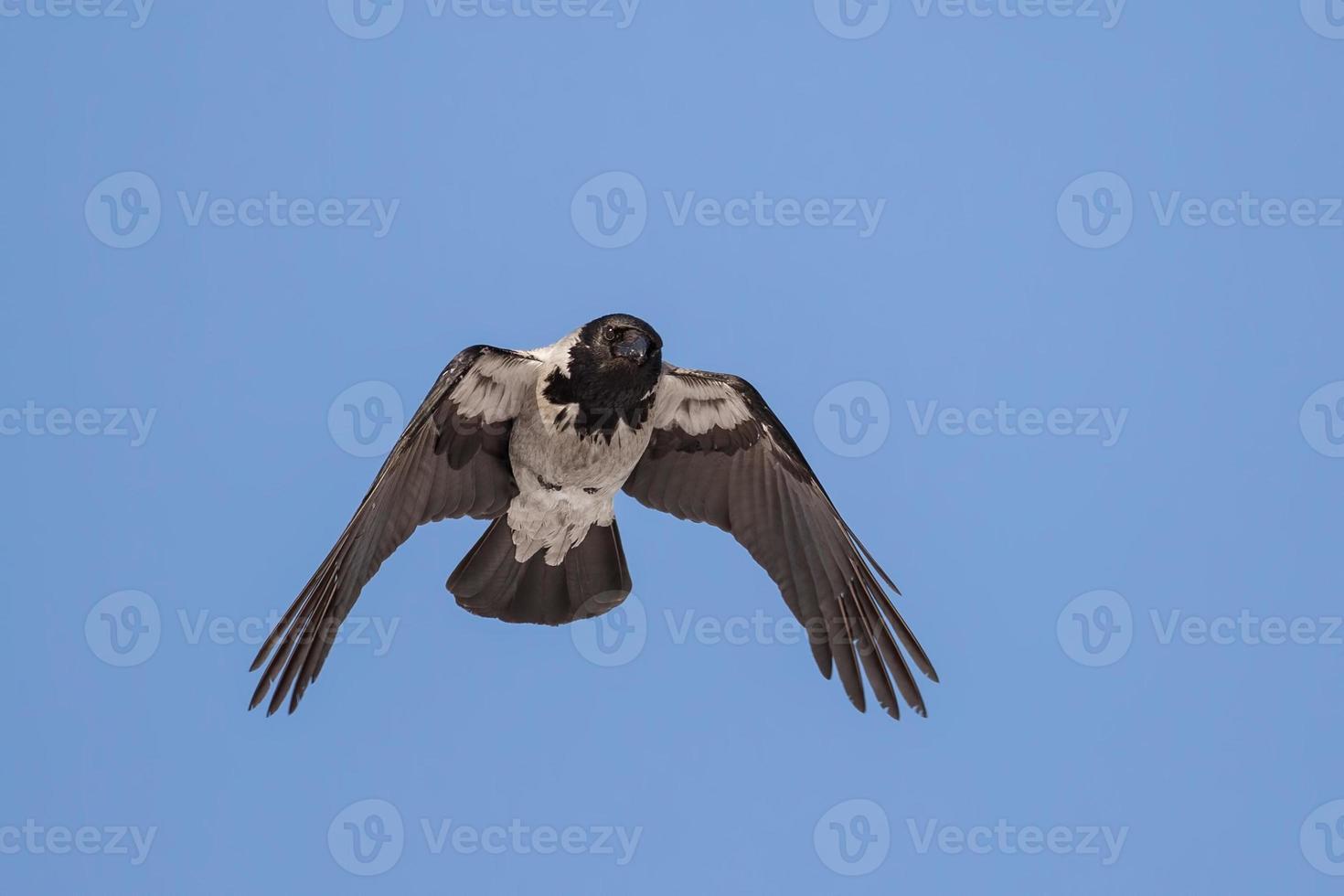 cuervo gris foto