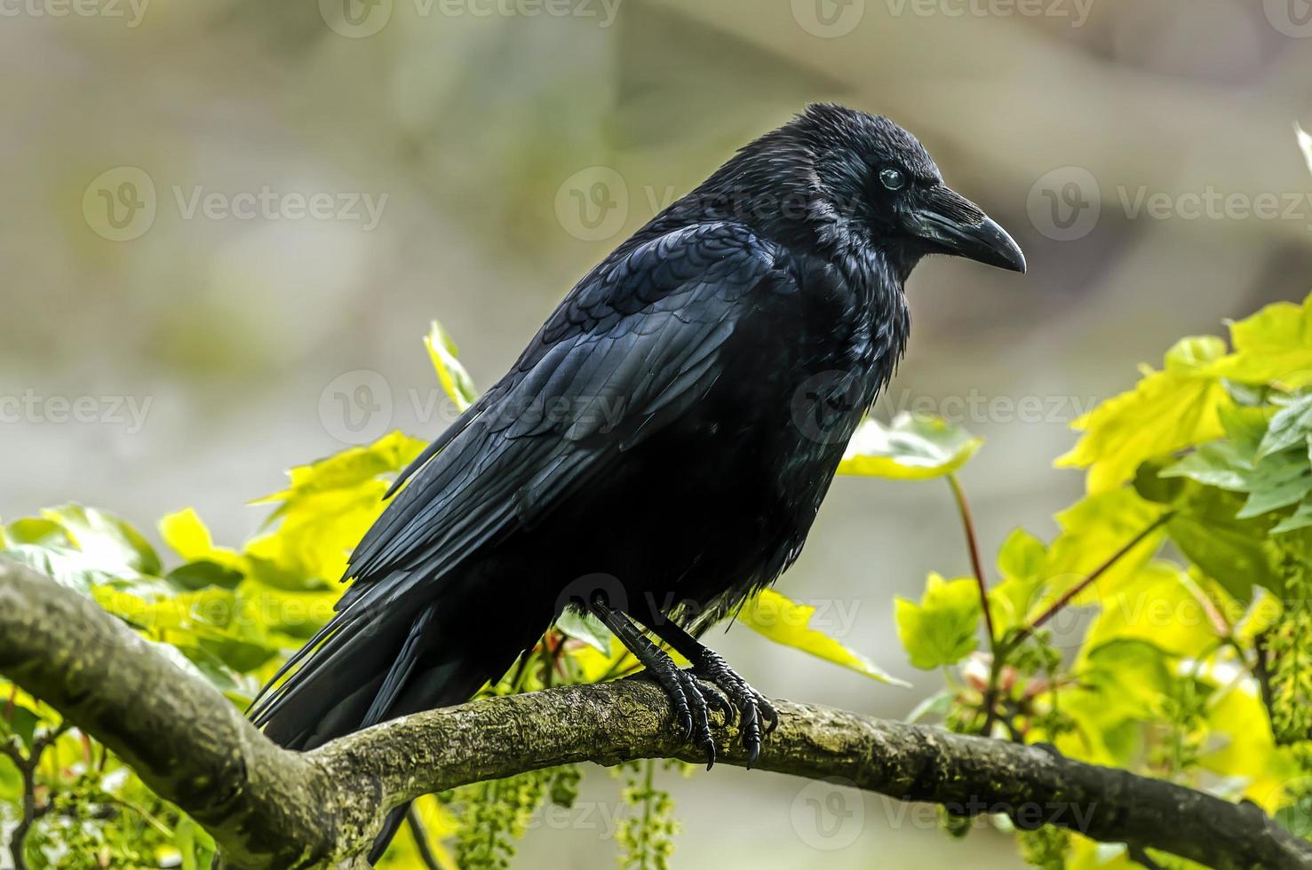 Crow, Corvus corone, perched on a branch, close up photo
