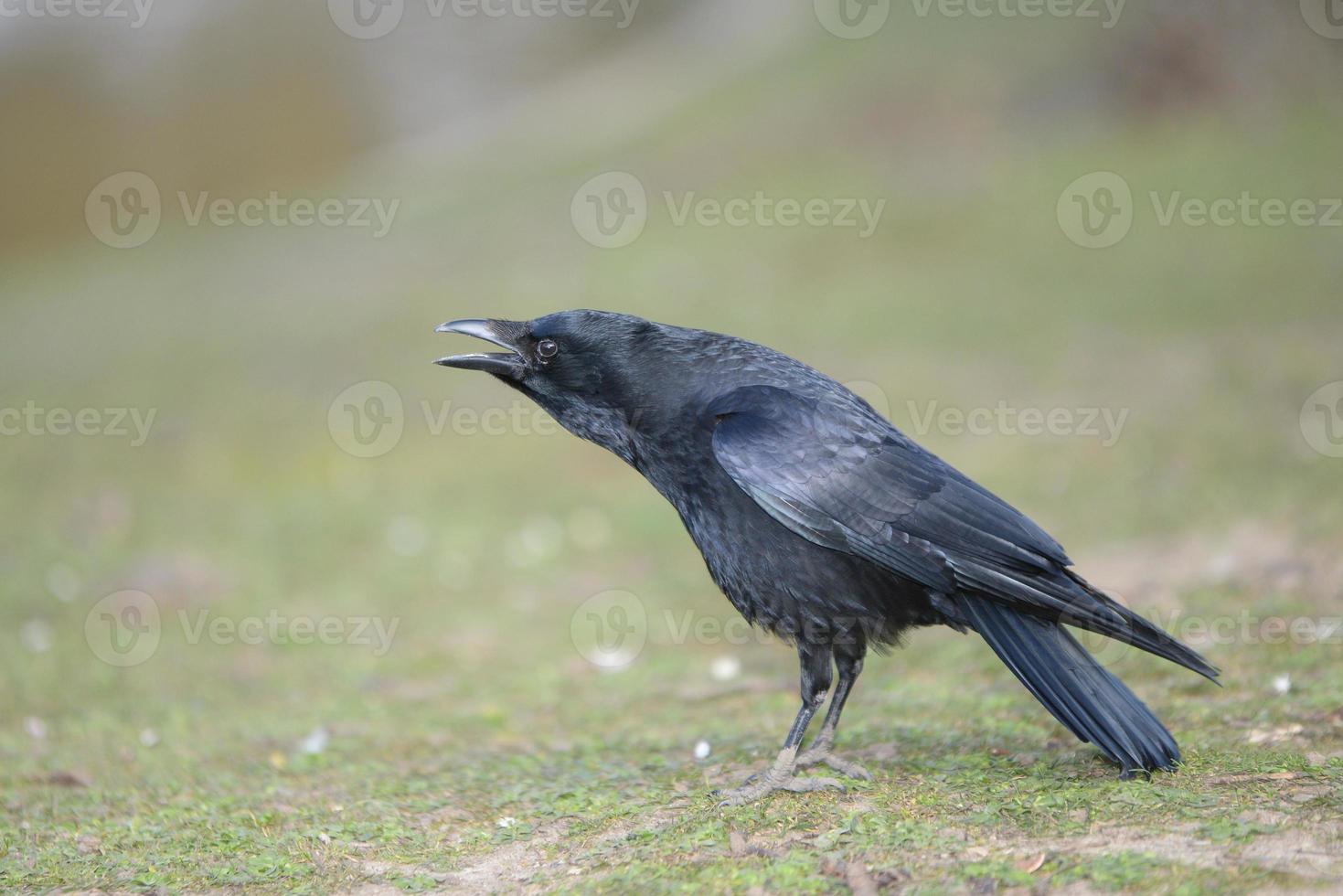 cuervo carroñero, corvus corone foto