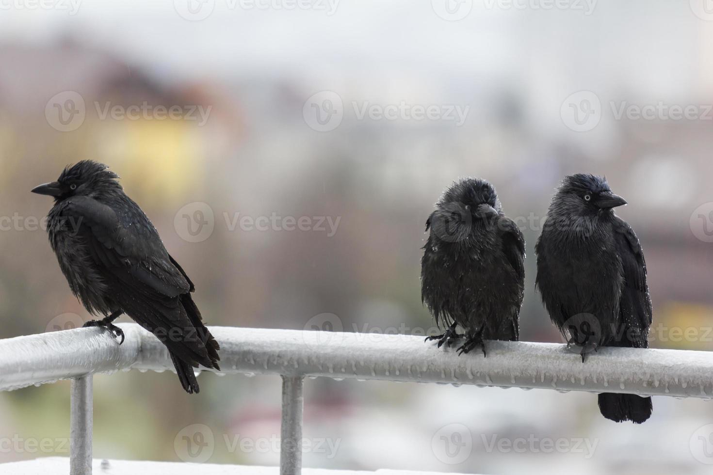 Tres cuervos mojados sentados en el riel del balcón foto