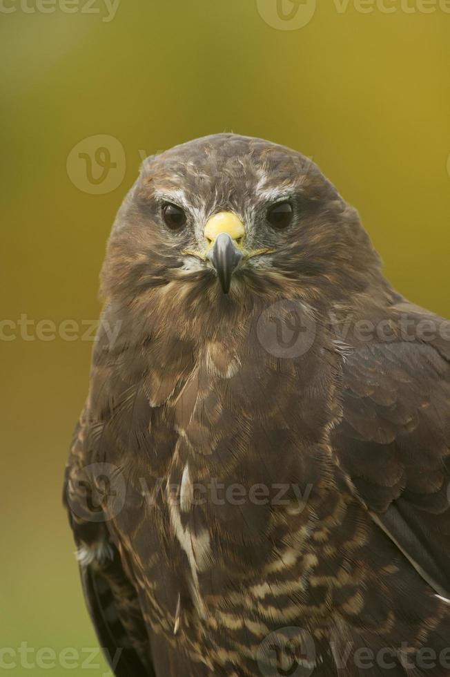 Common Buzzard (Buteo buteo) close up portrait photo