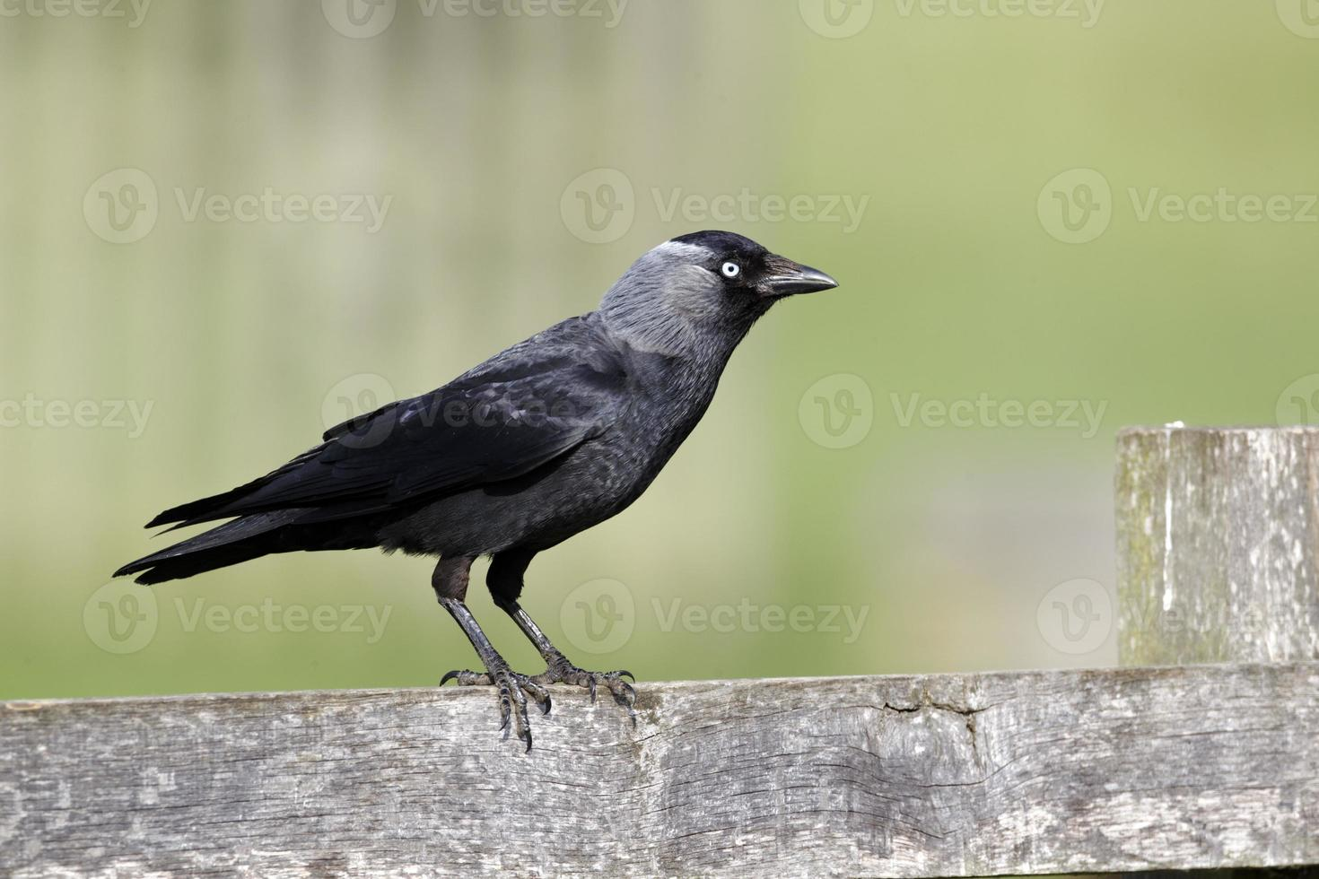 grajilla, corvus monedula foto