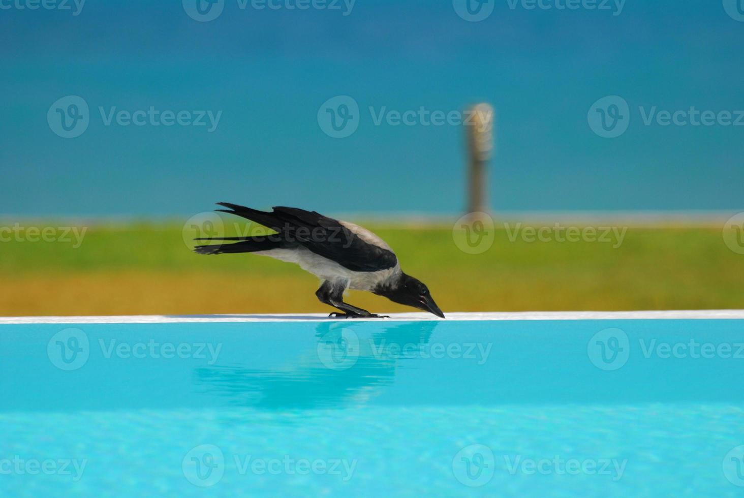 cuervo bebiendo agua foto