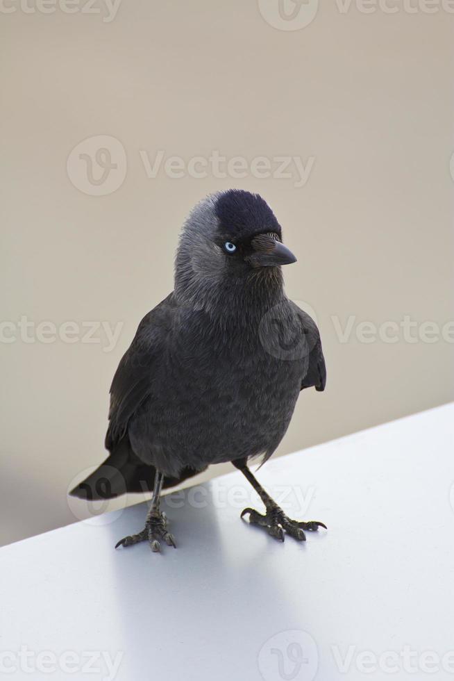 cuervo gris con ojos azules foto
