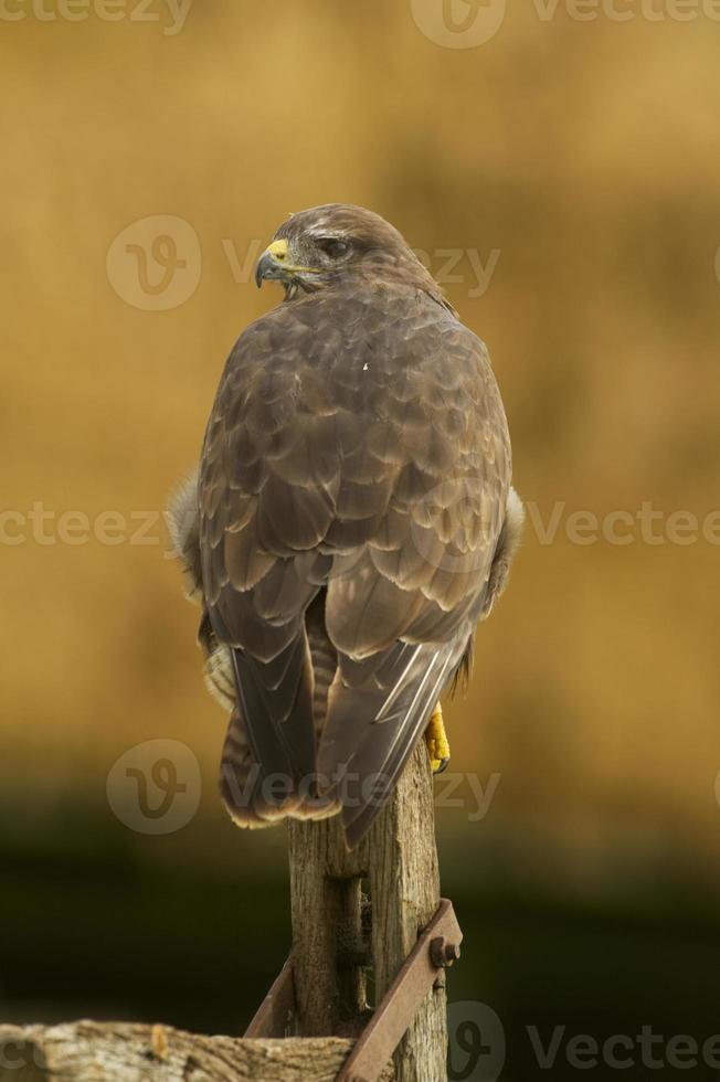 Common Buzzard (Buteo buteo) perched on old gate post photo