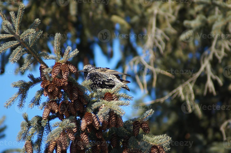 estornino (sturnus vulgaris) en una rama de pino foto