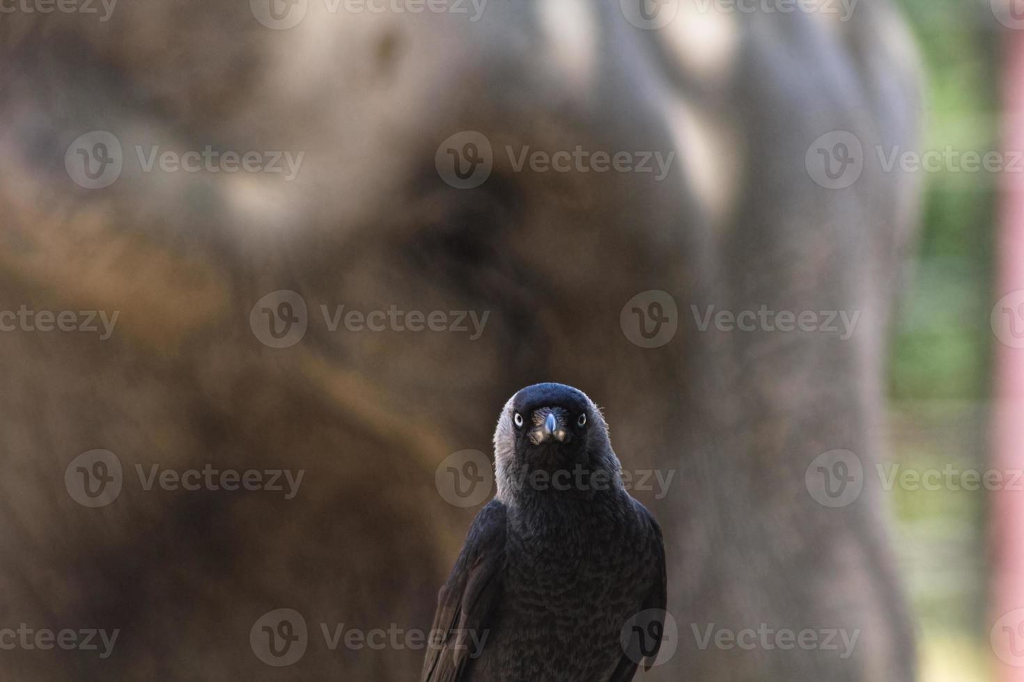 cuervo negro con elefante detrás foto