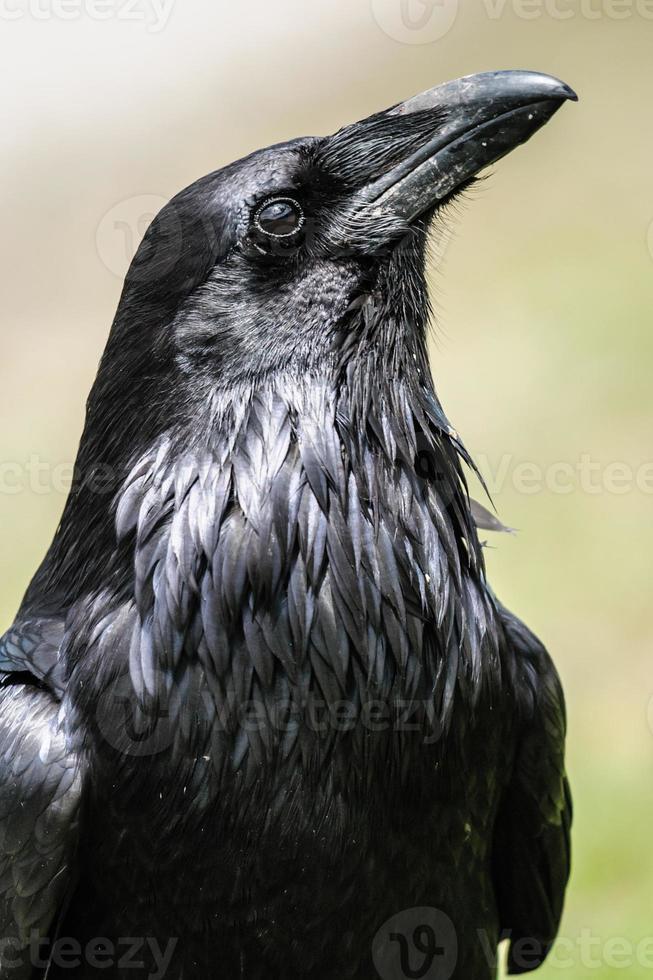 cuervo común (corvus corax) foto