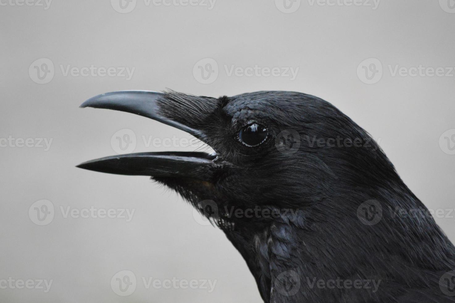 Cuervo negro foto