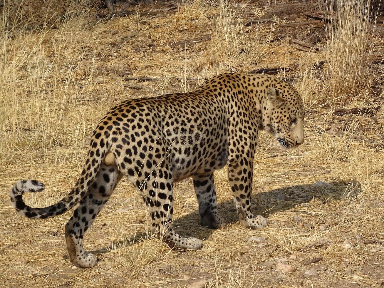 maravilloso leopardo caminando foto