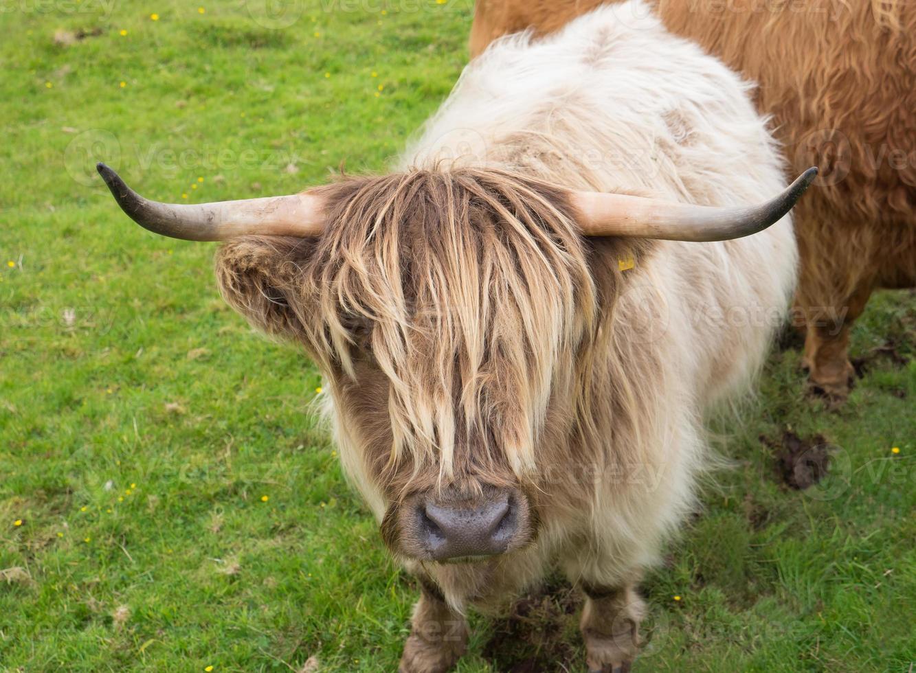 vaca de las tierras altas de scittish foto
