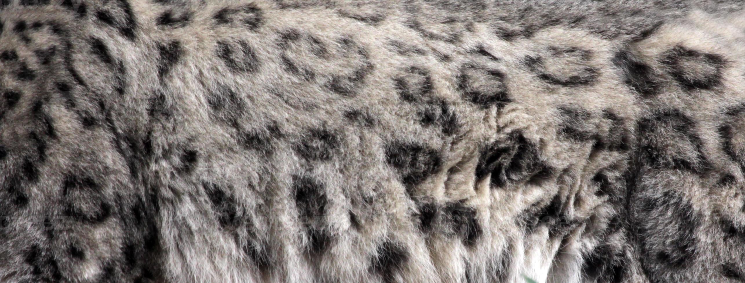 piel de leopardo de las nieves foto