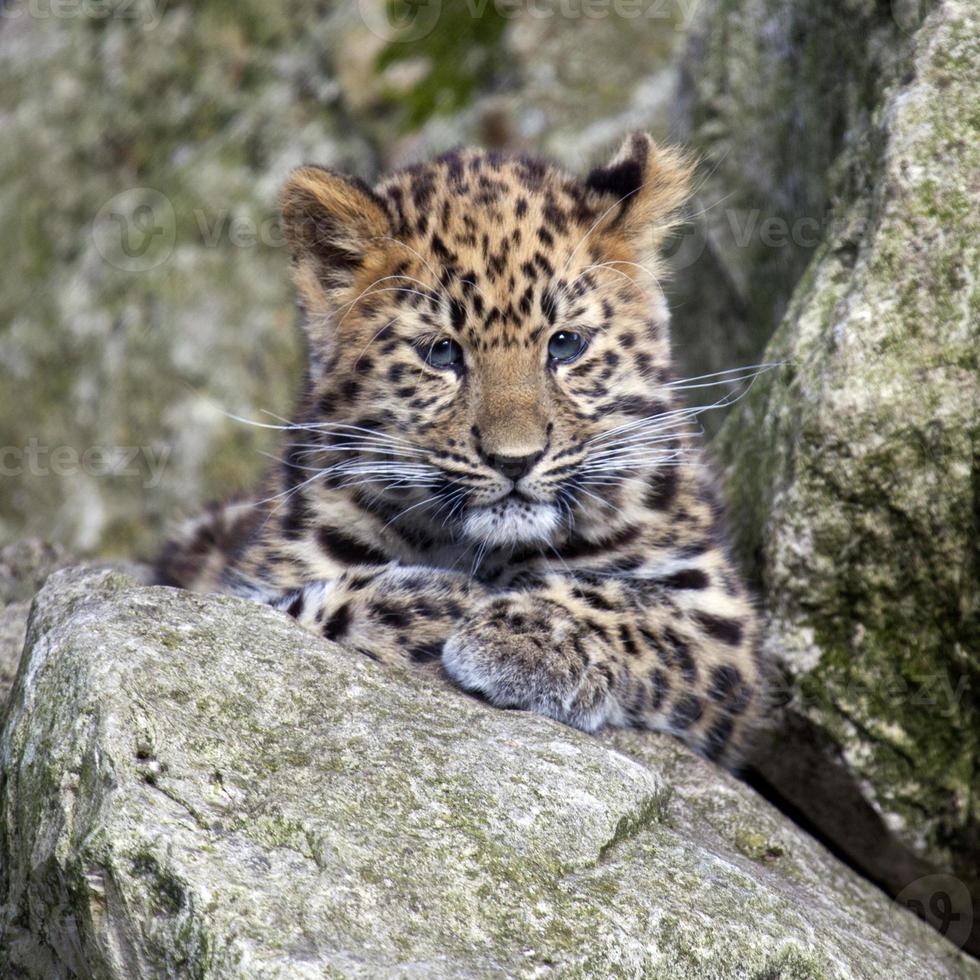 cachorro de leopardo de amur foto