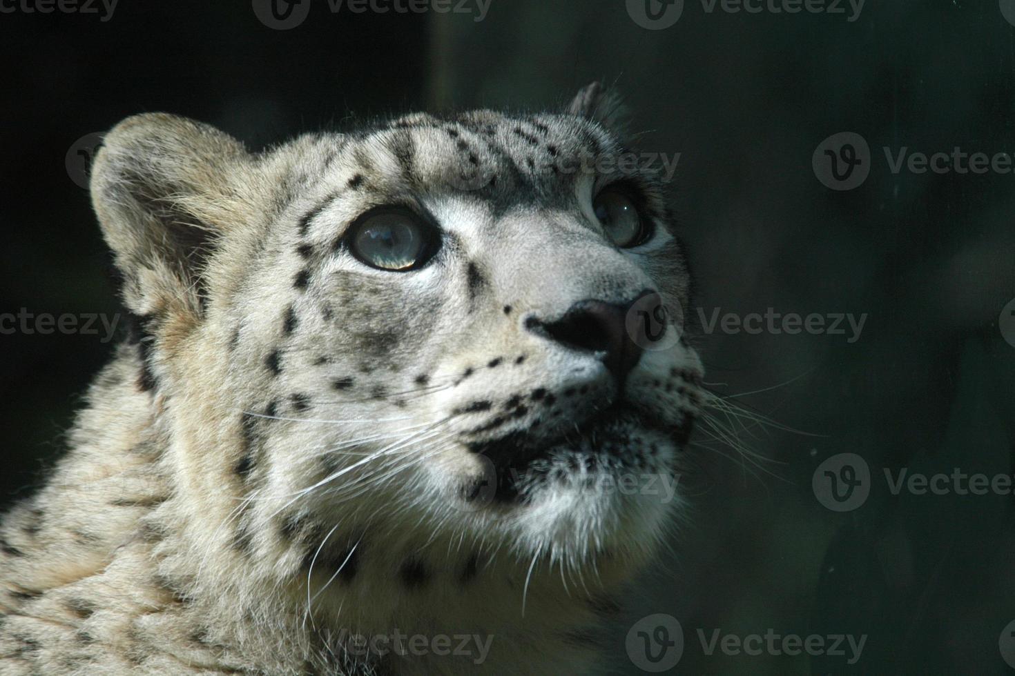 Snow leopard photo