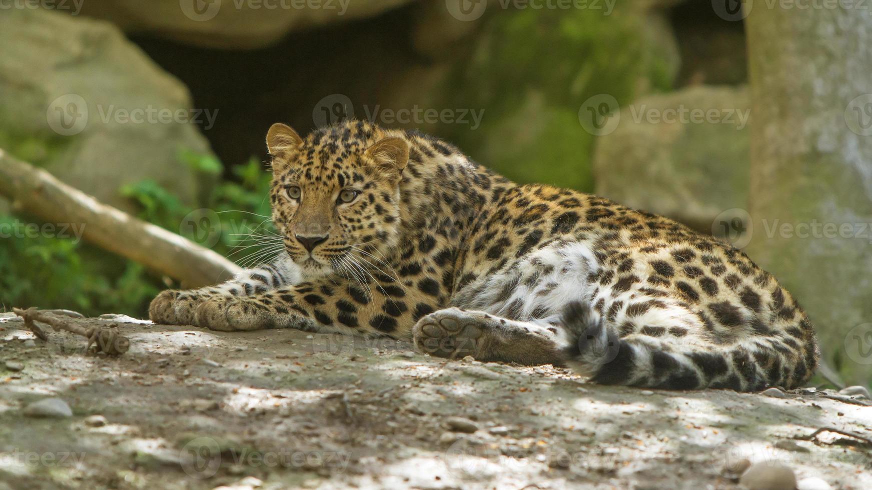 El Leopardo de Amur foto