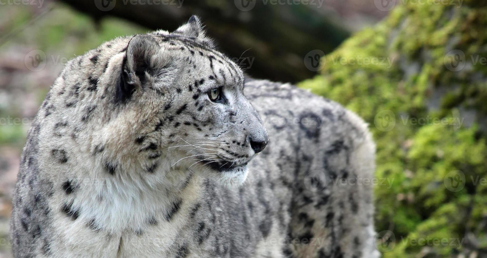 Close-up view of a Snow leopard photo